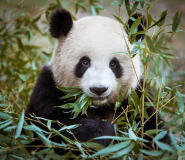 Chengdu - Centro ricerca Panda
