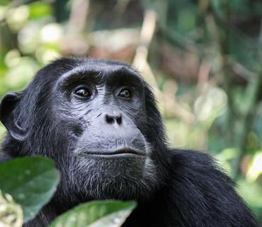 scimpanze safari